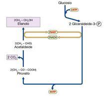 Figura 15. Schema della fermentazione alcolica dei lieviti