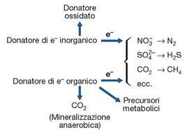 Figura 16. Schema della respirazione anaerobica