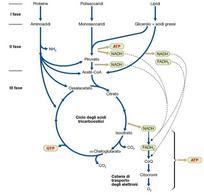 Figura 3. I tre stadi del catabolismo convergenti nella respirazione aerobia