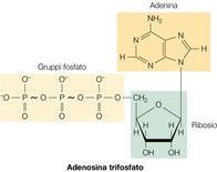Figura 5. Struttura dell'ATP, il principale trasformatore di energia chimica