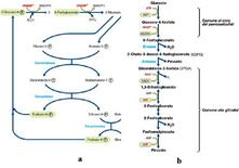 Figura 7. Via dei pentoso-fosfati (a) e la via di Entner-Doudoroff (b)