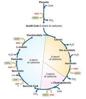 Figura 8. Ciclo degli acidi tricarbossilici o ciclo di Krebs