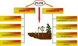 Figura 20. Meccanismi d'azione diretti ed indiretti dei PGPR