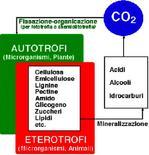 Figura 8. Composti del carbonio su cui agiscono i gruppi microbici ecofisiologici del suolo