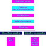 Figura 9. Fasi di degradazione aerobia e anaerobia della cellulosa