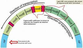 Figura 11. Organizzazione dei geni Nod sul plasmide Sym di Rhizobium leguminosarum