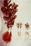 Figura 14. Piante inoculate con (a sinistra) e senza (a destra) micorrize