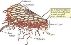 Figura 15. Ectomicorrize: crescita extracellulare di funghi