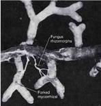 Figura 16. Radice ectomicorrizica con un fungo rizomorfo