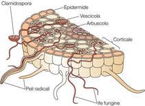 Figura 17. Endomicorrize: crescita intracellulare di funghi