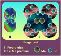 Figura 1. Complesso della nitrogenasi costituito da dinitrogenasi reduttasi e dinitrogenasi