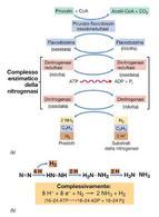 Figura 4. Fasi del processo di fissazione dell'azoto e reazione globale