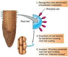Figura 7. Fasi di riconoscimento, adesione ed infezione in Rhizobium
