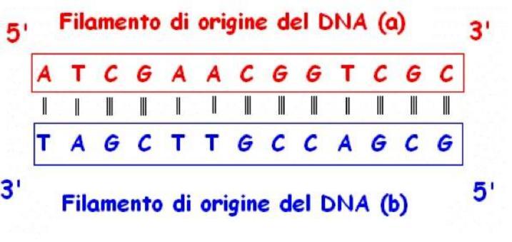 Rappresentazione schematica di un  frammento di DNA.