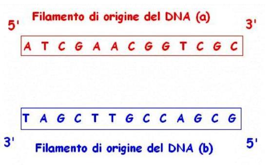 Frammento di DNA denaturato: apertura della doppia elica per rottura dei legami H.