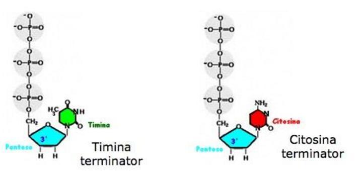 I nucleotidi terminator sono marcati con  fluorocromi differenti (adenina-terminator, guanina-terminator, citosina-terminator, timina-terminator).