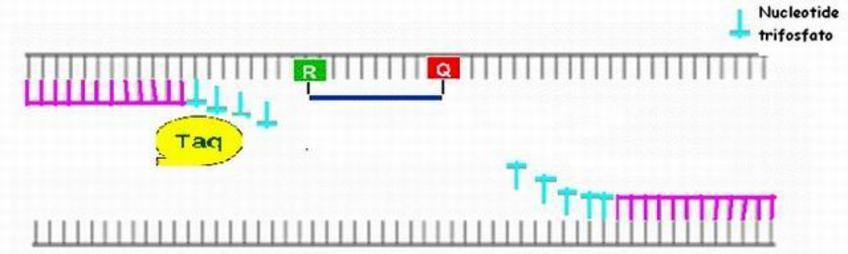 Durante l'annealing, i primers e la sonda si uniscono ai tratti di DNA ad essi complementari.  Reporter e Quencher sono ancora legati alla sonda.