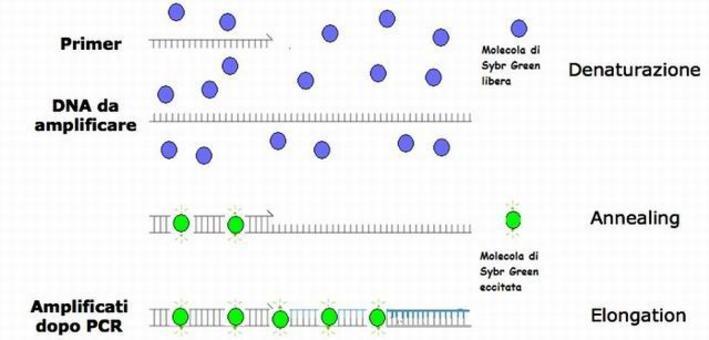 Molecole del colorante Sybr Green nelle tre fasi di PCR.
