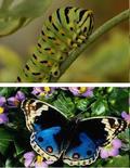 Fig.1 Il bruco, fonte: compagniadelgiardinaggio la farfalla, fonte:  frammentidiluce
