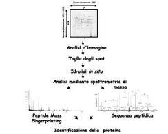 Fasi di un tipo di analisi proteomica.