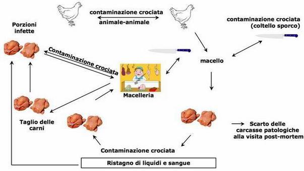Contaminazione delle carni avicole. Fonti: Midisegni, Palio italia, Ars alimentaria.