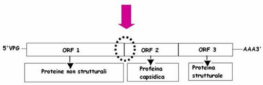 In PCR Real Time si amplifica un frammento di genoma compreso tra ORF 1 e ORF 2 in quanto presenta minori mutazioni intraspecie. Ridisegnato da Virus sequence database.