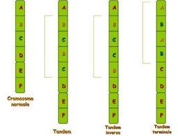 Immagine 4: Esempi di duplicazione di un cromosoma normale.