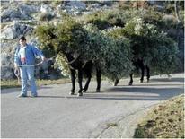 Immagine 2: Esemplari di mulo con bastio.