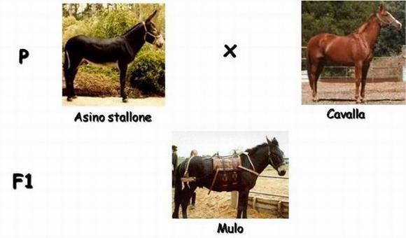 Immagine 3: Schema di ibridazione interspecifica per ottenere un mulo.