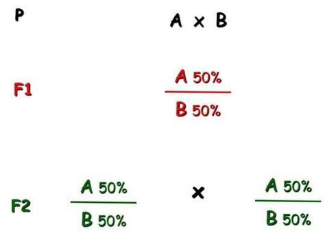 Immagine 6: Schema di meticciamento semplice o su due razze.