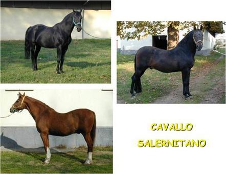 Il cavallo Salernitano.