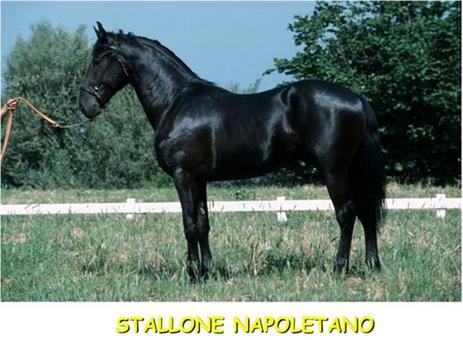 Il cavallo Napoletano.