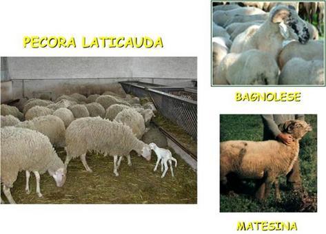 Razze ovine autoctone della Regione Campania.