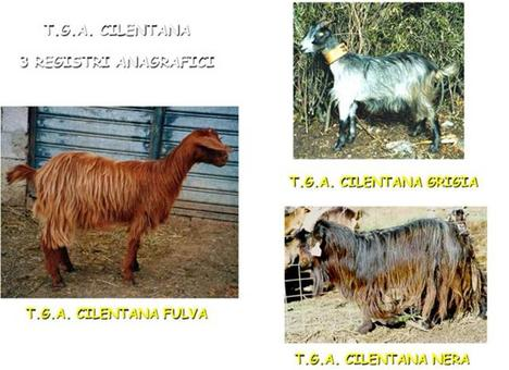 I tre sottogruppi della capra Cilentana.