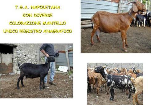 La capra Napoletana.