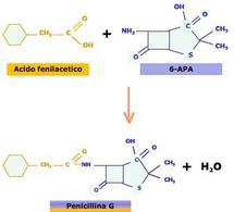 Figura 1 – Reazione di acilazione dell'acido 6-aminopenicillanico (6-APA) con l'acido fenilacetico, con produzione di penicillina G ed acqua. L'anello a 5 atomi è caratteristico del β-lattami.