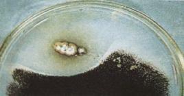 Figura 3 –Alone di inibizione della crescita batterica dovuto alla produzione di penicillina dal fungo Penicillium.