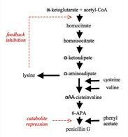 Figura 5 – Biosintesi della penicillina.