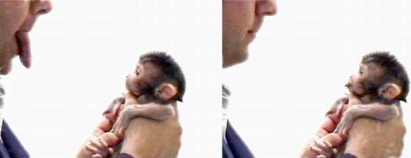 Un cucciolo di macaco imita le espressioni facciali umane. Fonte: Wikimedia