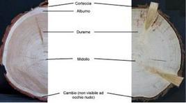 Tronco di legno in sezione, caratteristiche della struttura: porosa, non omogenea, anisotropa