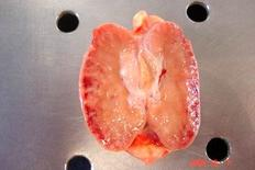 Linfonodo bovino: aree rosse disseminate nell'organo in posizione corticale.