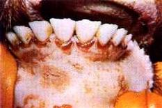 Bovino:lesioni ulcerose sulle gengive.