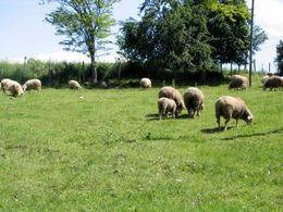 Negli ovini e nei caprini, come nell'uomo, l'infezione da Toxoplasma gondii può essere sia acquisita che congenita.