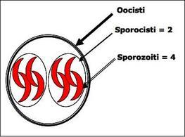 Rappresentazione schematica della oocisti sporulata di Toxoplasma gondii.