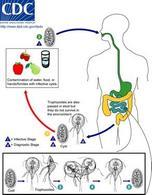 Ciclo biologico di Giardia duodenalis. Fonte DpdX