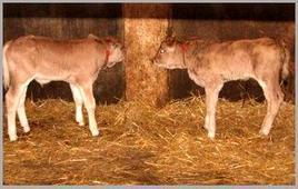 Vitelli bovini esposti alla infezione da Giardia
