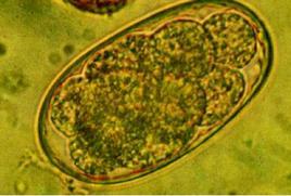 Uovo di  Ancylostoma caninum.