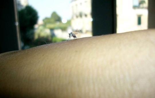 Aedes albopictus (zanzara tigre), importante vettore di Dirofilaria spp.