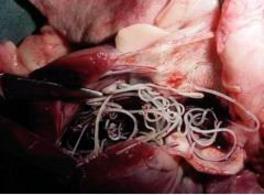 Grave infezione da Dirofilaria immitis in un cane (Foto: Luigi Venco).