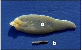 Fasciola hepatica (a) e Dicrocoelium dendriticum (b).